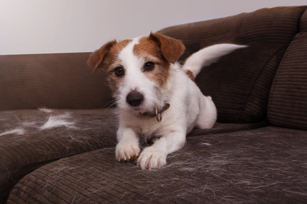 FURRY JACK RUSSELL DOG, SHEDDING HAIR DURING MOLT SEASON PLAYING ON A SOFA.